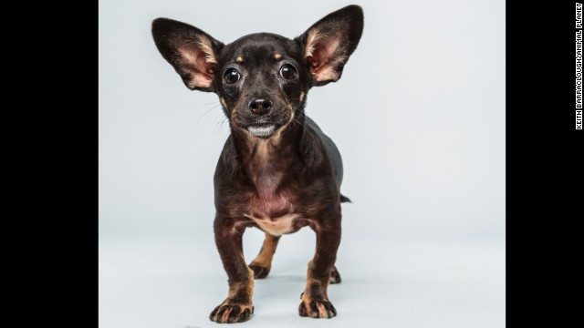 <strong>Name: </strong>Ullie. <strong>Age: </strong>12 weeks. <strong>Breed: </strong>Chihuahua dachshund mix.