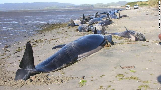 Docenas de ballenas son rescatadas en una playa de Nueva Zelandia