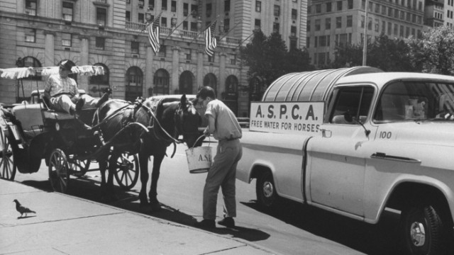A representative from the ASPCA waters a horse during a 1963 heat wave in New York.