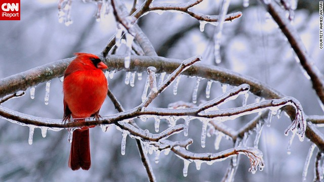 A cardinal perches on ice-covered branches in Virginia, where it's the official state bird. See his mate and other birds on CNN iReport.