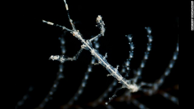 Close-up of a ghost shrimp (family Caprellidae) camouflaged against a hydrozoan colony in Alicante, Spain.