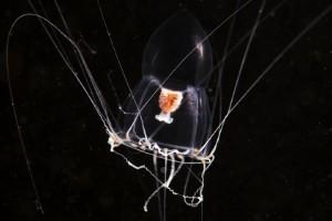 Criaturas marinas transparentes
