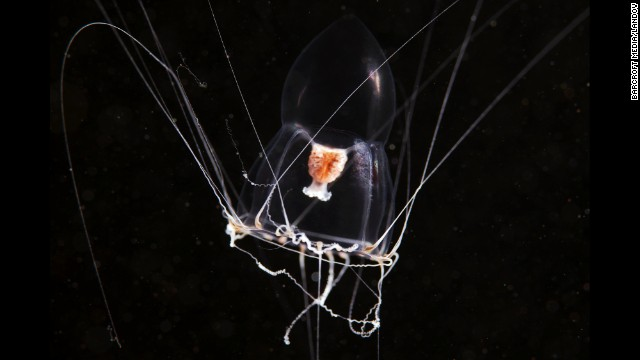 Medusa stage of a Halitholus sp. hydrozoan in White Sea, Russia.