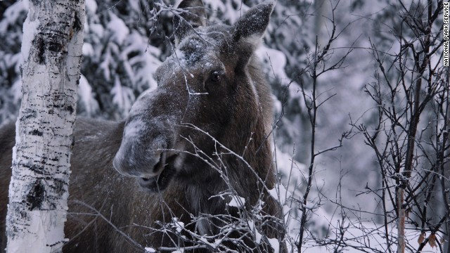Let moose have the right of way when you spot them in Alaska, or anywhere else for that matter.