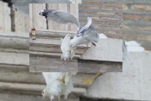 Dos aves atacan a las palomas de paz del papa