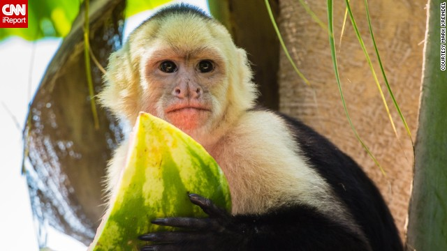 "A Capuchin monkey enjoys a slice of watermelon. ""They are amazingly fun to watch in their own environment, jumping from branch to branch and playing with each other. You could literally watch them for hours,"" said Mark Kreindel, who captured this portrait."