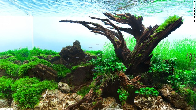 Planted Aquarium Tree Tank Around An Old Tree
