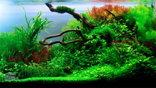 The Titan Prometheus gave humans fire, but this 200 liter tank could put out the flames. A Ukrainian aquascaper filled his aquarium with twenty different plants, including queen, phoenix, and stringy moss.