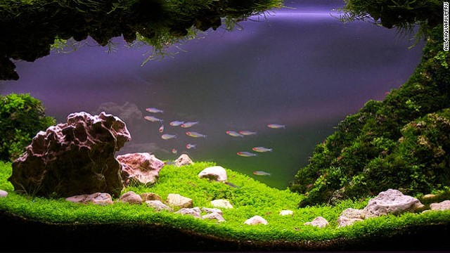 "Aquascaping requires careful timing. Different plants come into bloom at different times, so designers must plan their tanks well in advance of any competition. Entitled ""Stepping out into the valley"", this tank was photographed six months after its Latvian acquascaper started it."