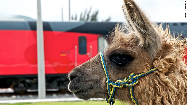Llamas are seen throughout the Tren Crucero route.