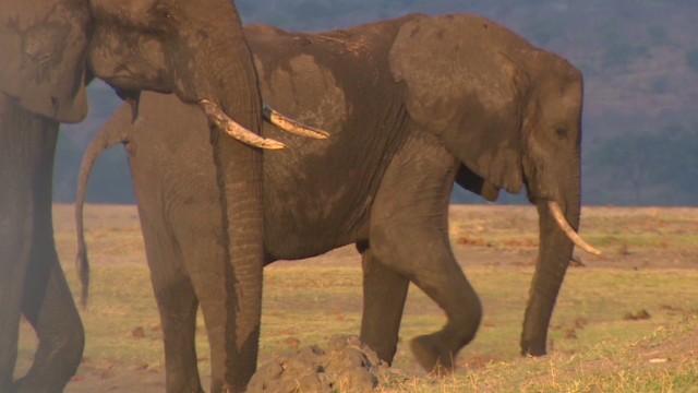 ¿Cómo la cosecha de chile podría salvar a los elefantes africanos?