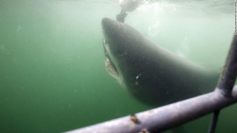 Nado con tiburones blancos (Sudáfrica)
