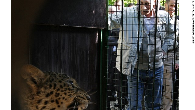 The Persian leopard -- here being alarmed by Putin -- is being reintroduced to the Sochi region. It's also a mascot of the Games.