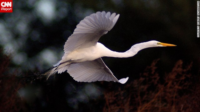 An egret takes flight in Texas. Robert Richardson says it's one of the best photos he's ever taken.