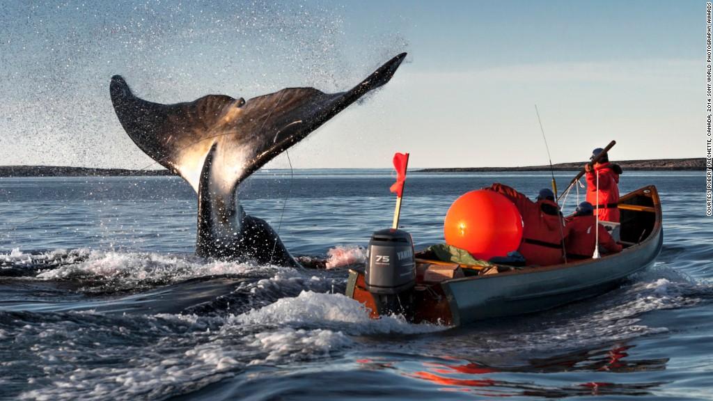 """照片和说明:罗伯特弗雷谢特""""早在千百海豚,因纽特人的v照片弓头鲸好看的年前怎么画图片"""