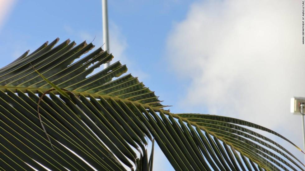 Hawai enfrenta una invasión de escarabajos