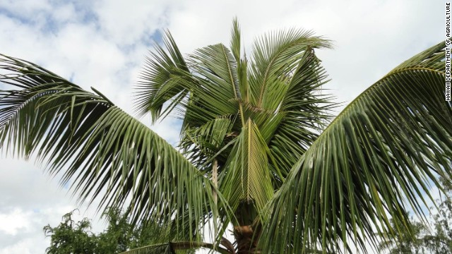 According to <a href='http://hdoa.hawaii.gov/pi/main/crb/' target='_blank'>Hawaii's Department of Agriculture</a> site the damage palm trees by boring into the crown of the tree to feed on the sap. They cut through developing leaves, causing damage to the fronds. V-shaped cuts in the fronds and holes through the midrib are visible as leaves mature and unfold.