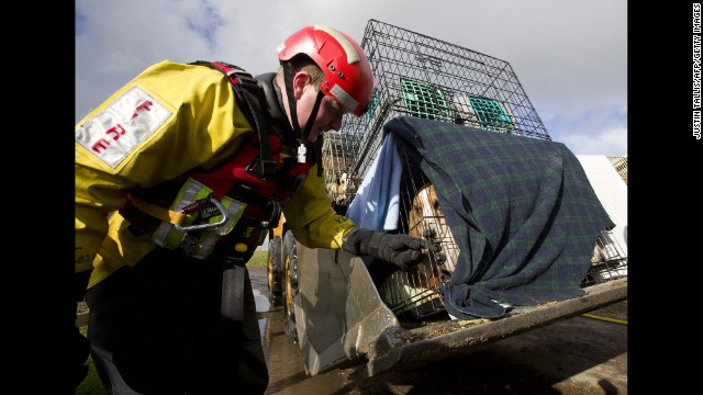 A rescue worker pets one of 16 basset hounds that were saved in Burrowbridge, England, on February 9.