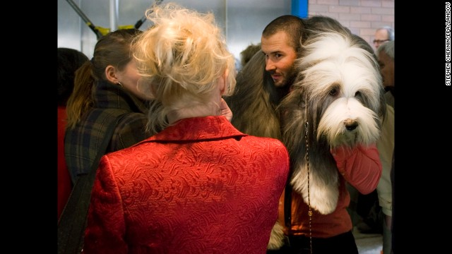 An Old English sheepdog is carried on a man's shoulders February 10.