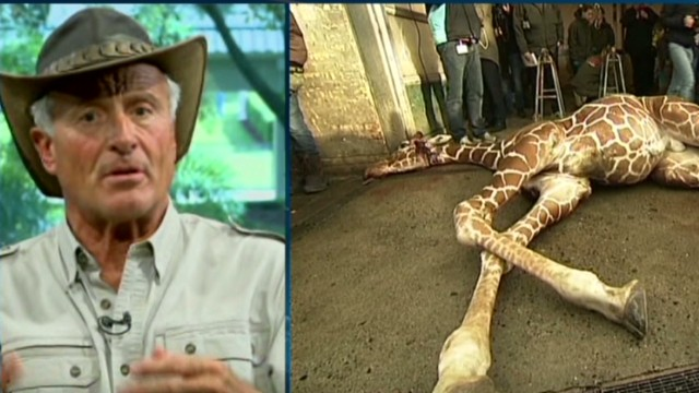 jack hanna   u0026quot if they have too many giraffes u2026 why do they
