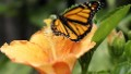 NAFTA leaders, save the butterflies
