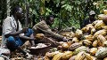 Ivorian cocoa farm workers cut open cocoa pods to extract the beans inside