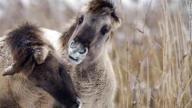 "Oostvardersplassen is a ""rewilded"" swathe of the Netherlands teeming with konik (small ponies) graylag geese and wild cattle."