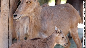 Mouflon: Corsica\'s emblem.