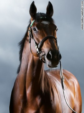 A picture of record-breaking racehorse Frankel as he is today in his retirement by the <a href='www.mark-harvey.com' target='_blank'>artist Mark Harvey.</a>