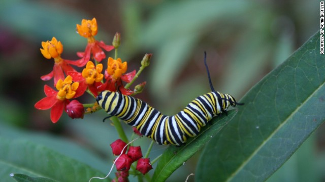Monarch butterfly larva.
