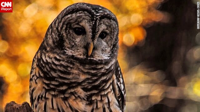 This <a href='http://ireport.cnn.com/docs/DOC-1065878'>barred owl</a> sits like a statue of wisdom on a crisp fall day at the World Bird Sanctuary in Valley Park, Missouri.