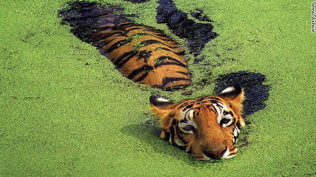 The world's most endangered big cats have disappeared from 90% of their historic territory. India and Nepal present rare chances to see tigers in the wild.