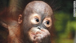 Illegal pet trade is one of orangutans\' biggest threats.