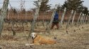 Working like a dog at a Long Island vineyard
