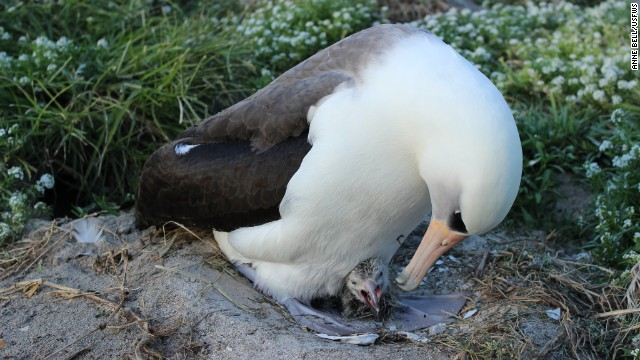 A Laysan albatross known as Wisdom -- at least 63 years old -- rears a chick on Midway Atoll National Wildlife Refuge.