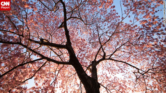 New York resident <a href='http://ireport.cnn.com/docs/DOC-767994'>Navid Baraty </a>visited D.C. to see the cherry blossoms bloom in 2012. This was his first time at the festival and he says it was spectacular.