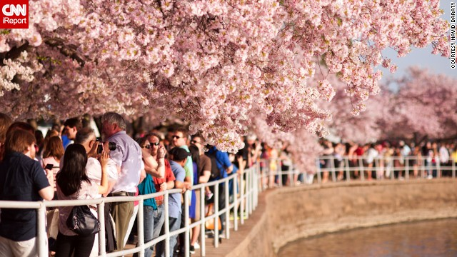 The <a href='http://www.nationalcherryblossomfestival.org/about/history/' target='_blank'>National Cherry Blossom Festival </a>grew from humble beginnings, but now it's one of the largest springtime celebrations in the United States.