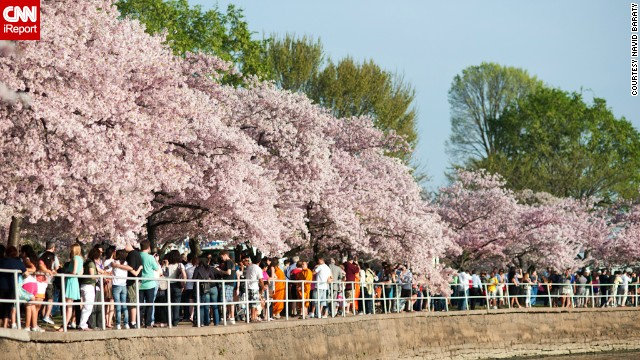 More than 1.5 million people travel to the capital to see these blooming flowers, according to the <a href='http://www.nationalcherryblossomfestival.org/about/history/' target='_blank'>National Cherry Blossom Festival's</a> website.