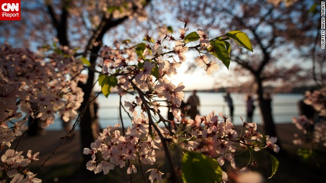 The cherry trees' peak bloom, which is when 70% of the trees are blooming, is very much dependent on the weather.