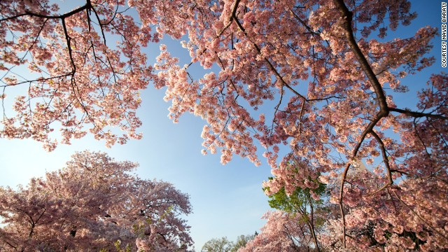 D.C.'s cherry trees have hit their peak <a href='http://www.washingtonpost.com/lifestyle/style/cherry-blossom-fun-facts/2011/03/09/AFIOgtXB_story.html' target='_blank'>as early as March 15</a> in 1990 to as late as April 18 in 1958. After a brutal winter, they're expected to be at their peak in April this year.