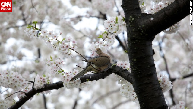 In 1915, the United States government presented the people of Japan with <a href='http://www.nationalcherryblossomfestival.org/about/history/' target='_blank'>flowering dogwood trees</a>. The gift was in response to the cherry trees the United States received from Japan three years earlier.