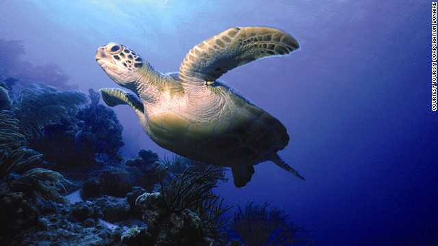 Turtles are what most divers yearn to see, but you may find that the triangle-shaped box fish, hunting morays or schools of technicolor butterfly fish really steal the show.