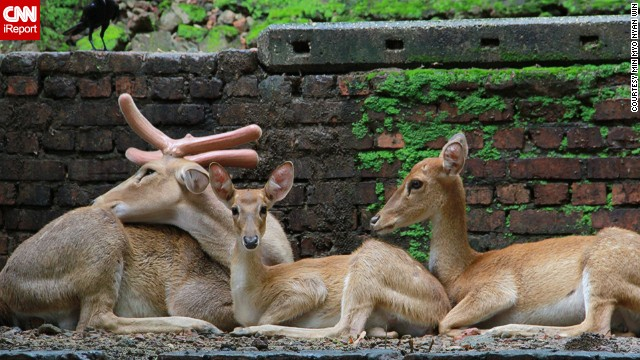 "A family of deer, not exactly posing for a picture, at the Yangon Zoological Garden in Myanmar. I loved this scene so much,"" Min Myo Nyan Win said. ""They were beautiful and I loved that it captured the warmth of family life."""