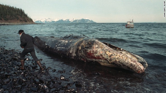 A fisherman inspects a dead California gray whale covered in oil on the northern shore of Latoucha Island, Alaska.