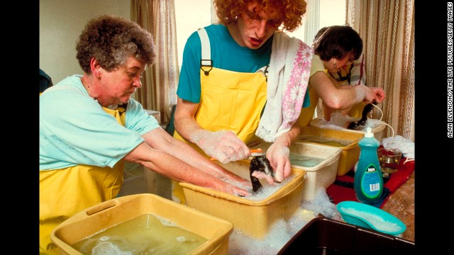 Volunteers bathe oil-covered birds in buckets filled with water and dish detergent.