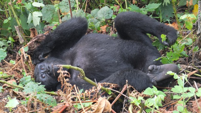 What do mountain gorillas look like 10