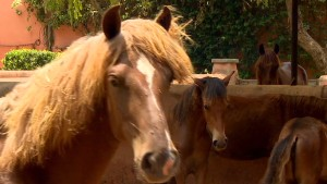 Breeding world's 'smallest' horse