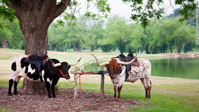 Texas longhorns serve as mascots at the Hyatt Regency Lost Pines Resort and Spa.