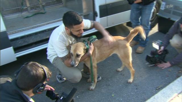 Perros rescatados de las calles de Sochi llegan a EE.UU. para su adopción