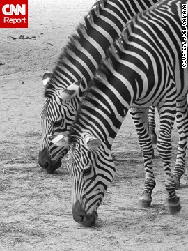Two zebras at the Berlin Zoo bow their heads to eat in unison.